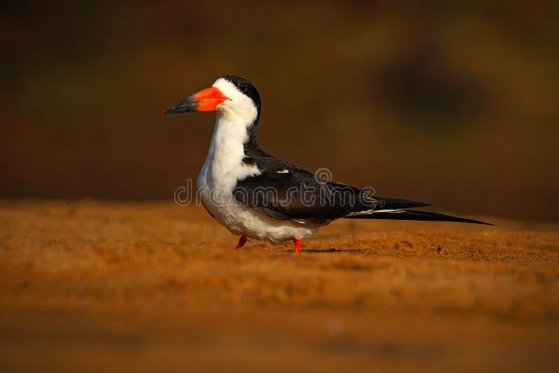 Czarny Cedzakowy, Rynchops Niger, egzotyczny ptak w natury siedlisku, ptasi obsiadanie w kosztu piasku, Rio murzyn, Pantanal, Bra zdjęcia royalty free