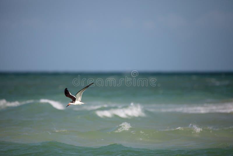 Czarny cedzakowy tern Rynchops Niger fotografia stock