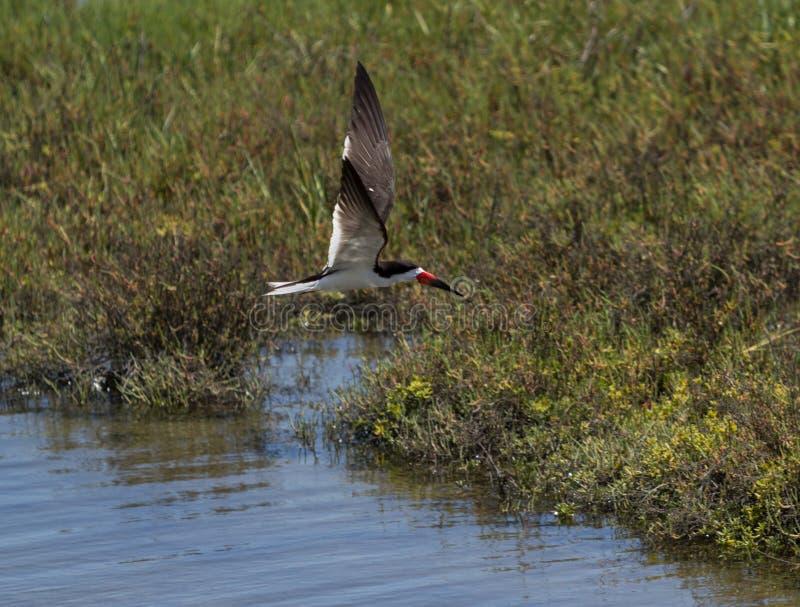 Czarny cedzakowy tern, Rynchops Niger fotografia stock