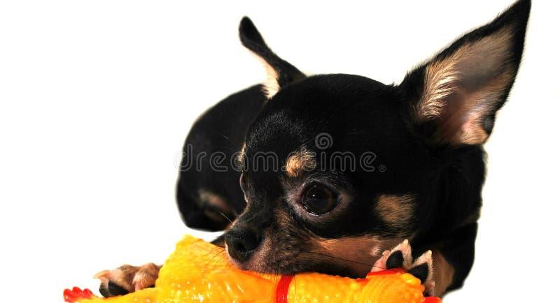 Czarny chihuahua szczeniak zdjęcie royalty free