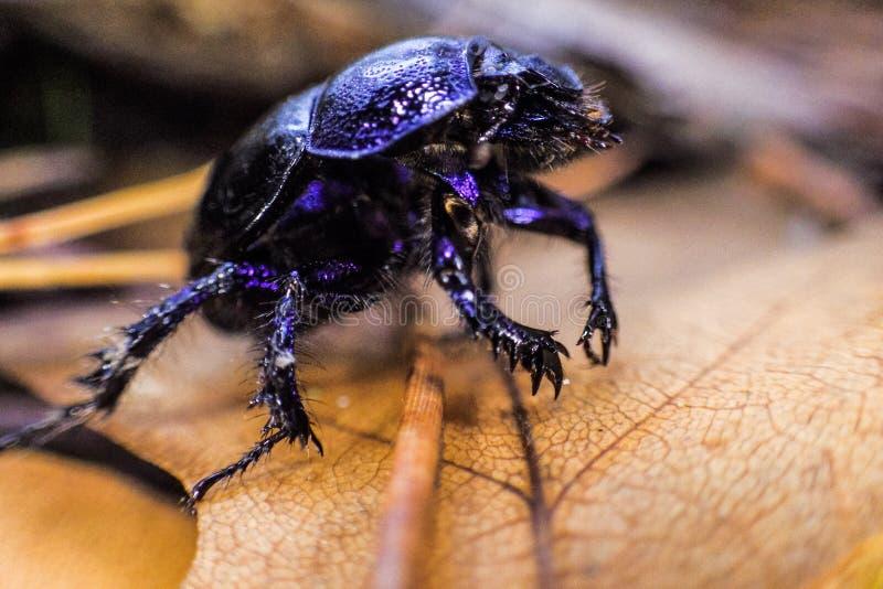 Czarny chodzący insekt obraz royalty free