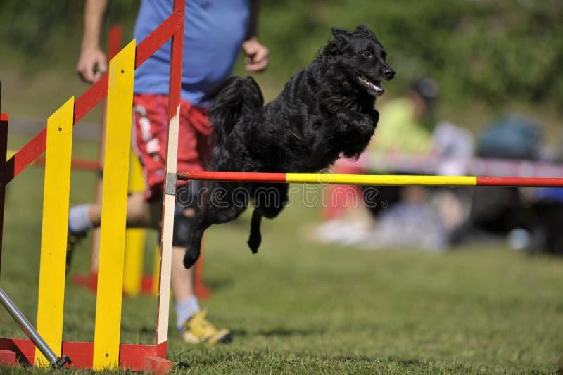 Czarny Chorwacki Sheepdog na zwinność kursie zdjęcie stock
