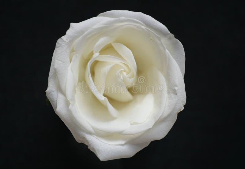 czarny chrupiący kwiatu róży biel fotografia royalty free