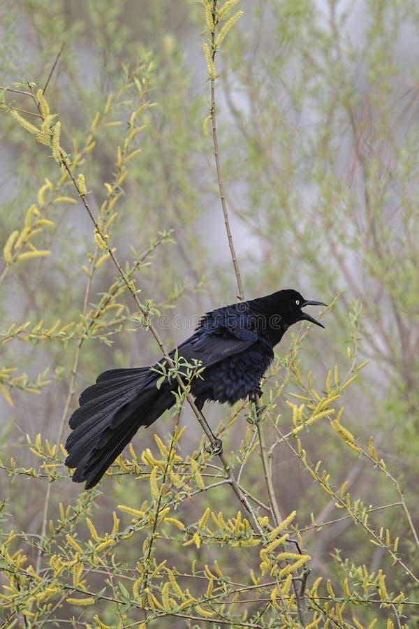 Czarny chrupot, ptak fotografia royalty free