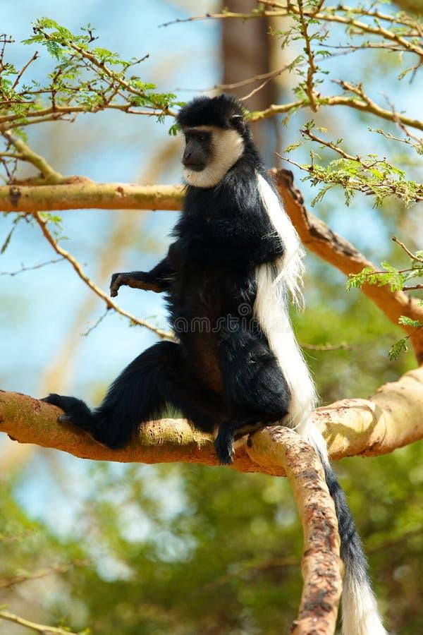 Czarny colobus małpy biel