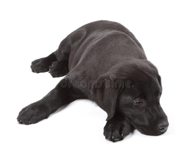czarny czekoladowy labradora szczeniaka aporter fotografia stock