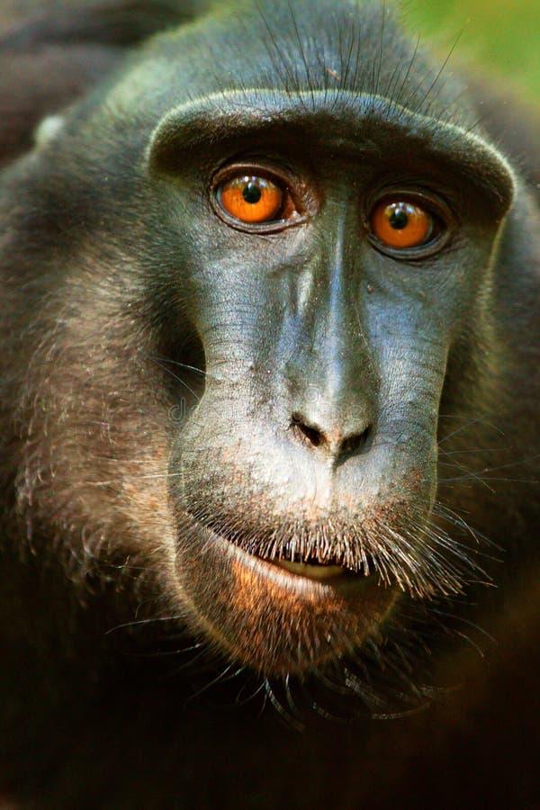 Czarny czubaty makak obraz royalty free