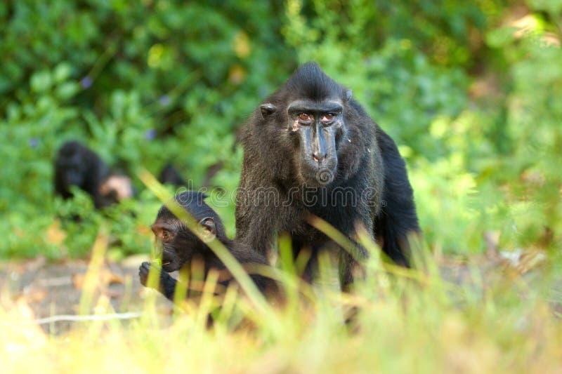 Czarny czubaty makak zdjęcie royalty free