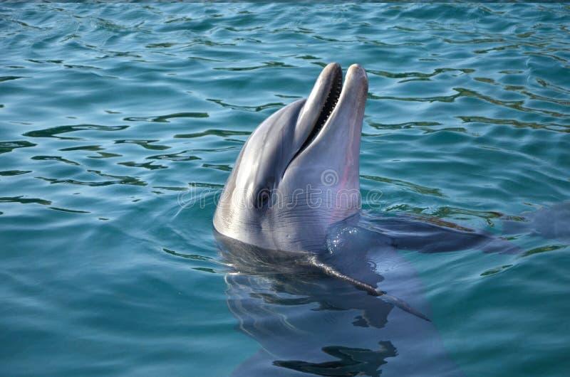 Czarny Denny delfin wyłaniał się od Czerwonego morza fotografia royalty free