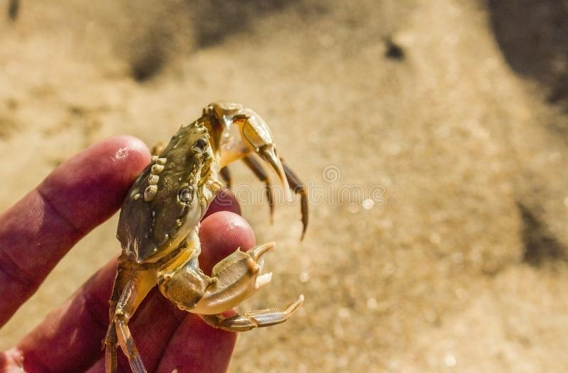 Czarny denny krab na żółtym piaska tle zdjęcie stock