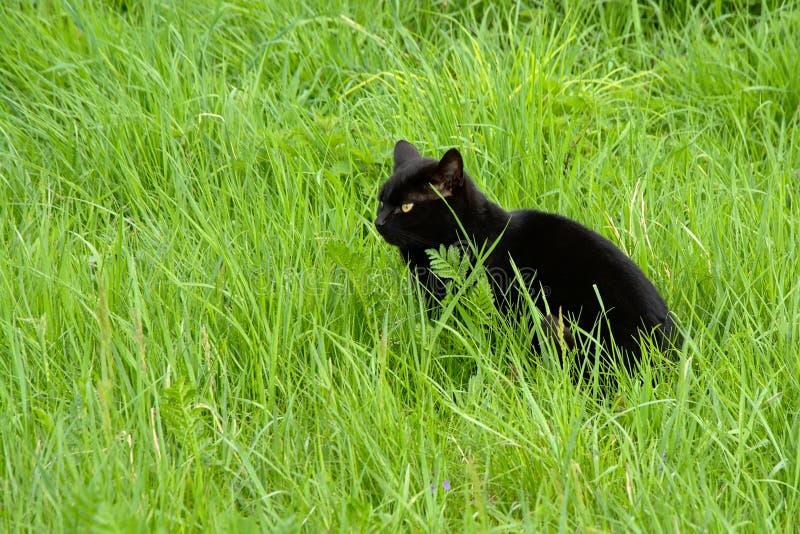 Czarny domowego kota obsiadanie w wysokiej dzikiej trawie zdjęcie royalty free