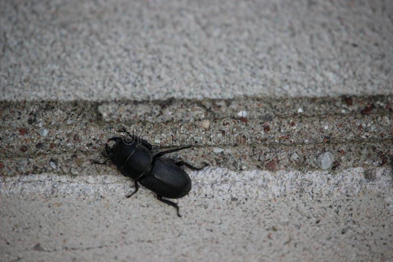 Czarny dorosły insekt Lesser jeleń ścigi obsiadanie na ściana z cegieł zdjęcia royalty free