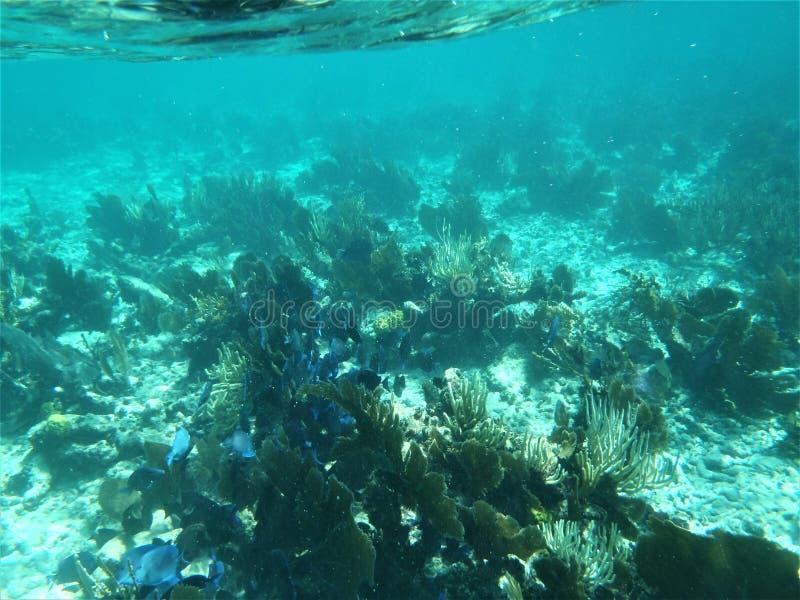 Czarny durgon ryba rafy koralowa ocean fotografia stock