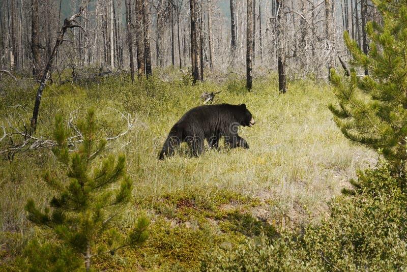 czarny dziki niedźwiedź fotografia royalty free