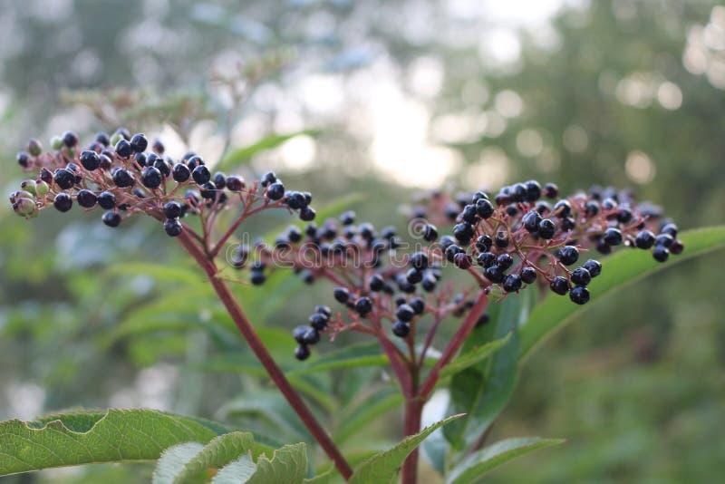 Czarny elderberry dojrzewał na krzaku w późnym lecie zdjęcie stock