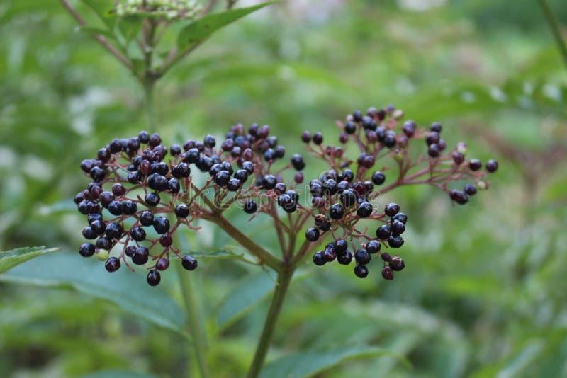 Czarny elderberry dojrzewał na krzaku w późnym lecie obraz stock