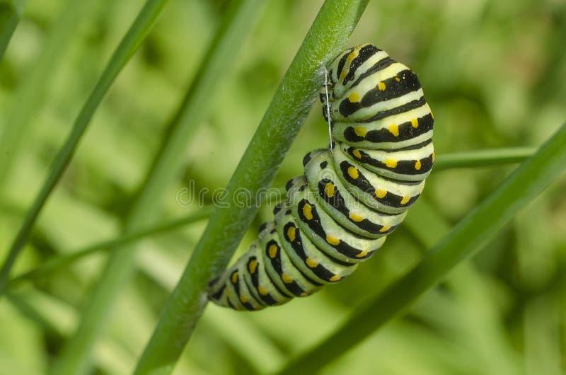 czarny gąsienicowy swallowtail Papilio polyxenes zdjęcia stock