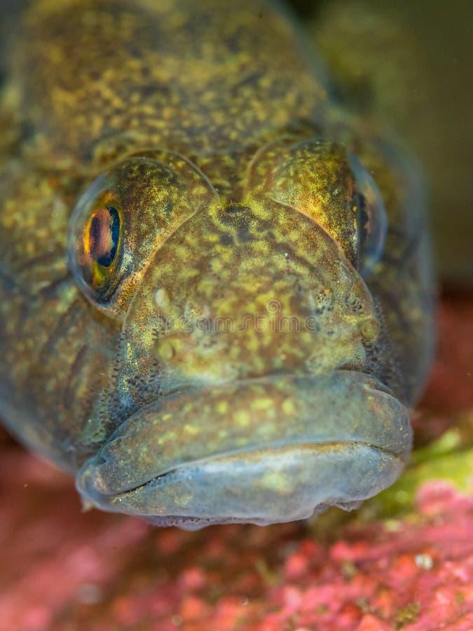 Czarny goby Conger aleja, Szkocja zdjęcie royalty free
