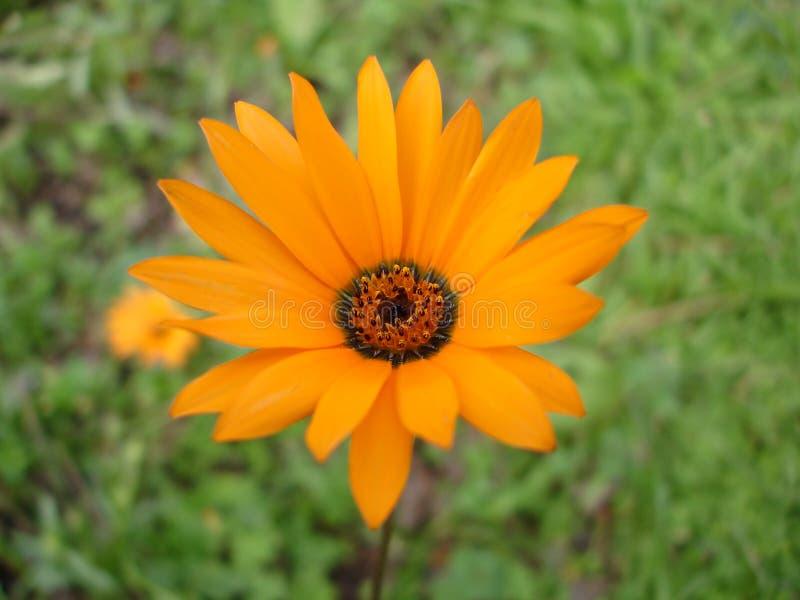 Czarny hearted kwiat obraz stock