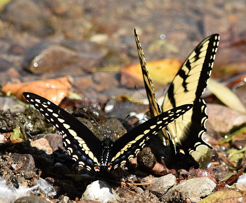 Czarny i Żółty Swallowtails zdjęcie royalty free