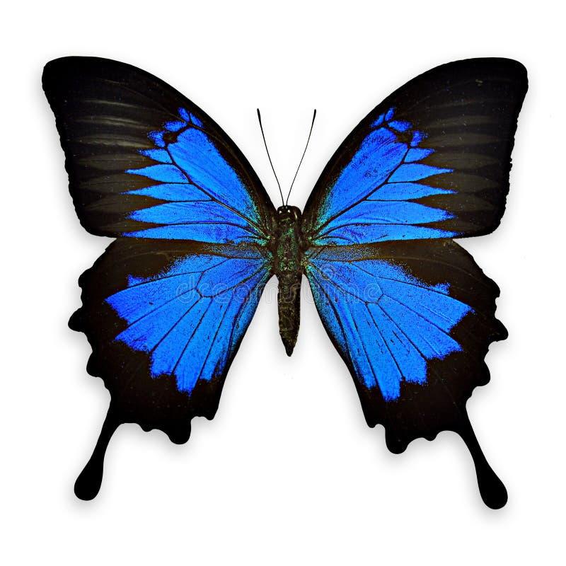 Czarny i błękitny motyl na białym tle fotografia royalty free