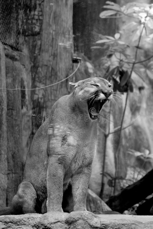 Czarny i biały Ślicznej figlarki halny lew obrazy stock