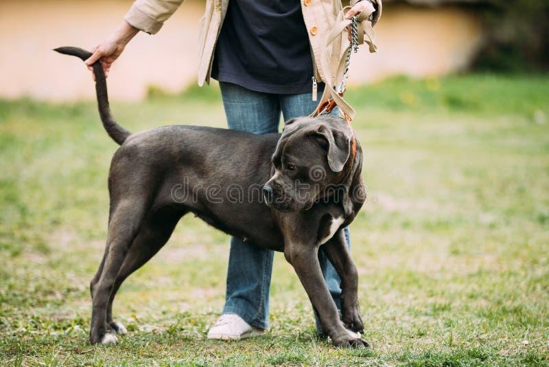 Czarny I Biały Amerykański buldoga pies Stoi Blisko kobiety W Zielonej trawie fotografia stock