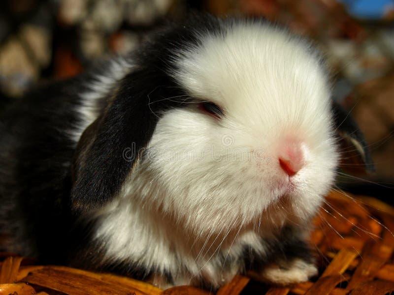 Czarny i biały atłasu karła królik zdjęcia stock