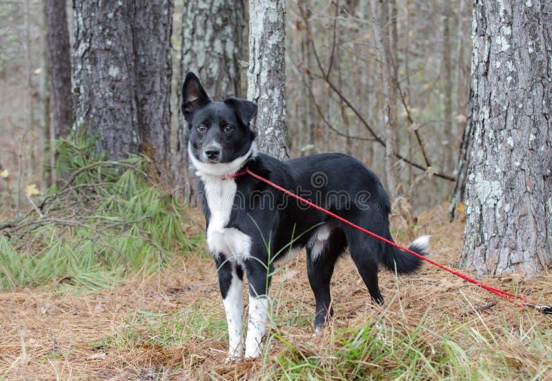Czarny i biały Aussie mieszający Border Collie trakenu pies zdjęcia stock