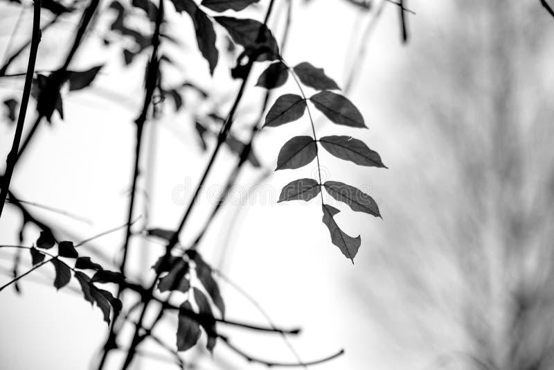 Czarny i biały bluszczy liście na winogradu tle zdjęcia royalty free