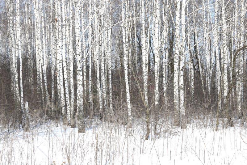 Czarny i biały brzoz drzewa z brzozy barkentyną w zimie na śniegu zdjęcie royalty free