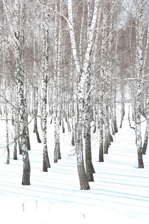Czarny i biały brzoz drzewa z brzozy barkentyną w zimie na śniegu obraz stock