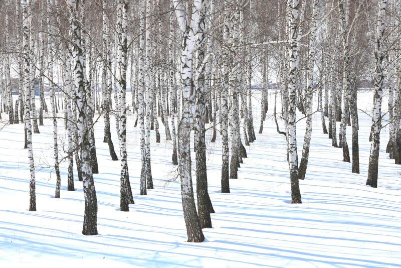 Czarny i biały brzoz drzewa z brzozy barkentyną w zimie na śniegu fotografia stock