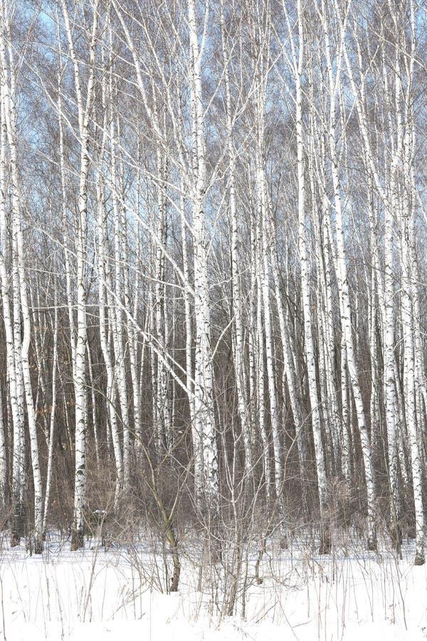Czarny i biały brzoz drzewa z brzozy barkentyną w zimie na śniegu zdjęcia stock