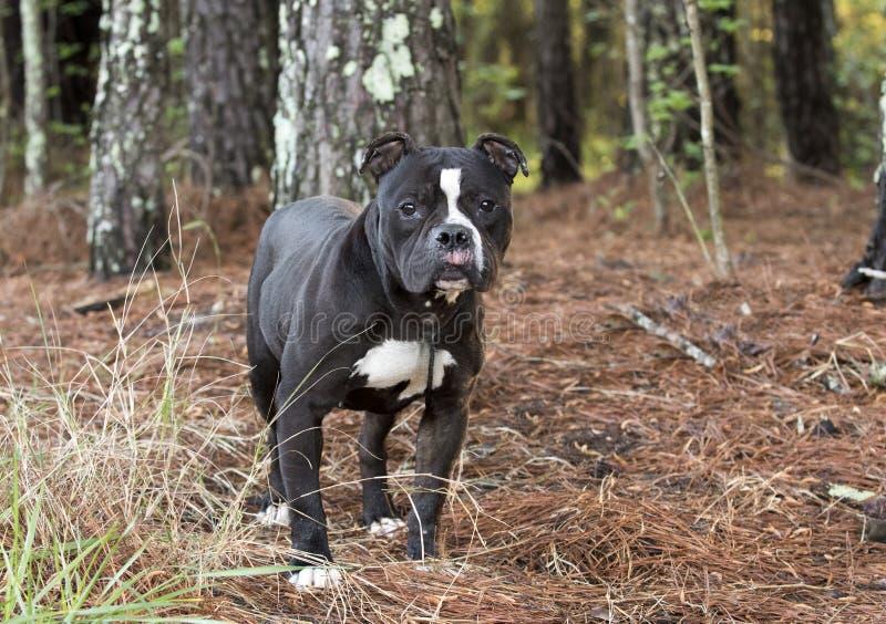 Czarny I Biały buldoga Terrier psi outside na smyczu obraz stock