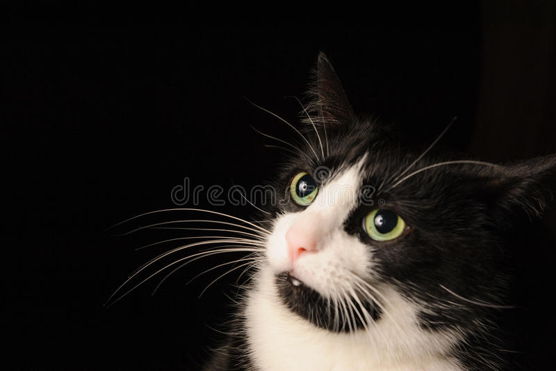 Czarny i biały catWith zły spojrzenie, marszczyć brwi zieleni oczy i brwi i kłama na krześle Pojęcie zwierzęta domowe i obraz royalty free