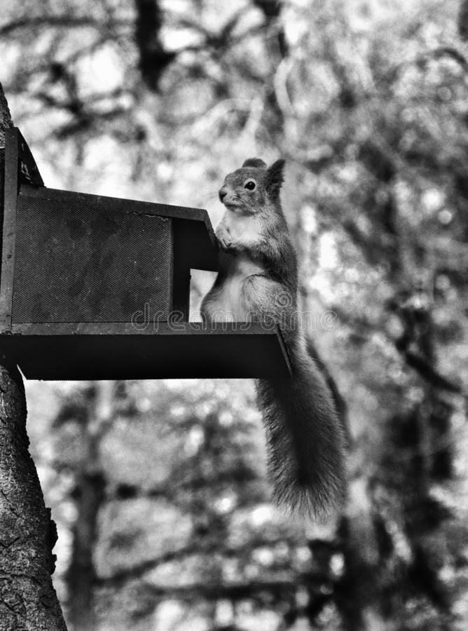 Czarny i biały czerwona wiewiórka fotografia royalty free
