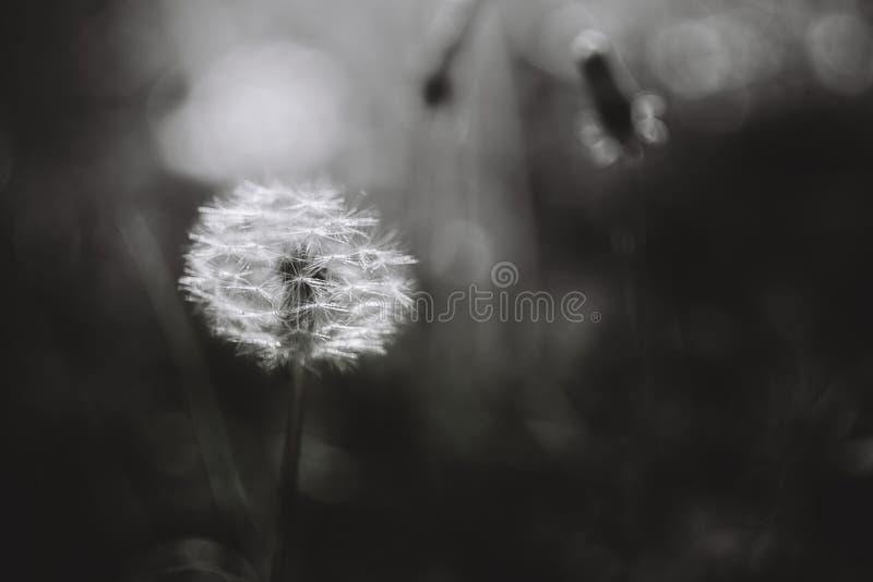 Czarny i biały dandelion obrazy stock