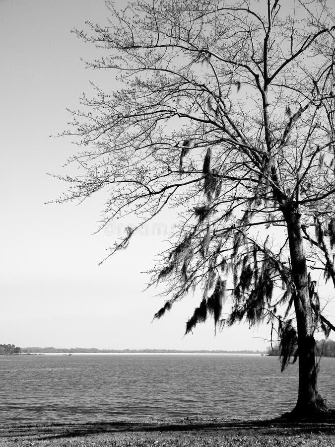 Czarny I Biały drzewo z mech na jeziorze obraz stock