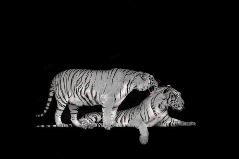 Czarny i bia?y Dwa Bengal tygrys w lasowej przedstawienie g?owie zdjęcia royalty free