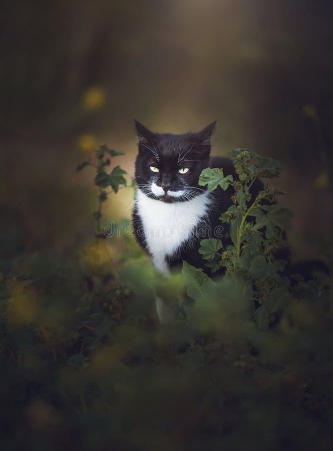 Czarny I Biały Dziki kot Chujący Za trawą obraz royalty free