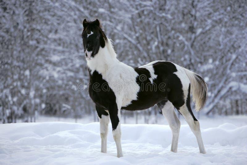 Czarny i biały farby źrebię obraz royalty free