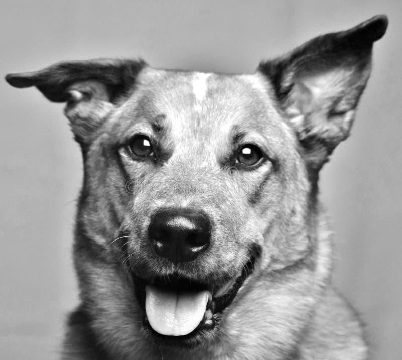Czarny i biały fotografia Australijski bydło pies zdjęcia stock