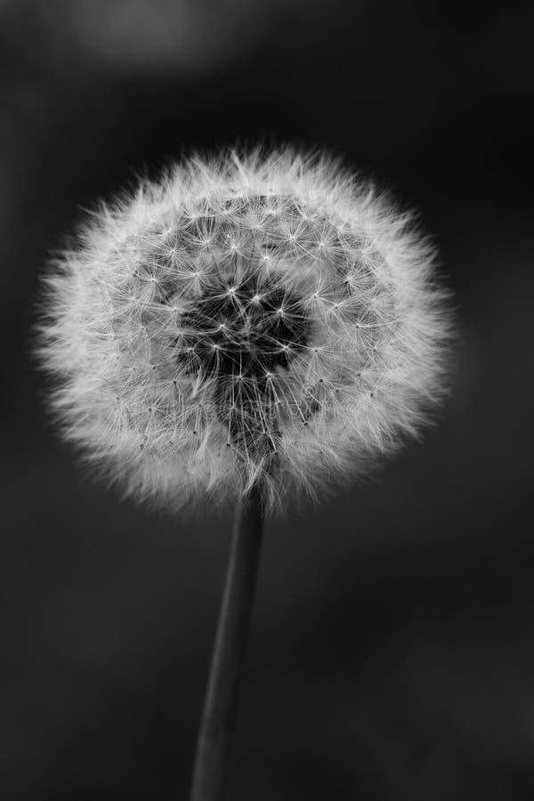 Czarny i biały fotografia dandelion zdjęcie royalty free