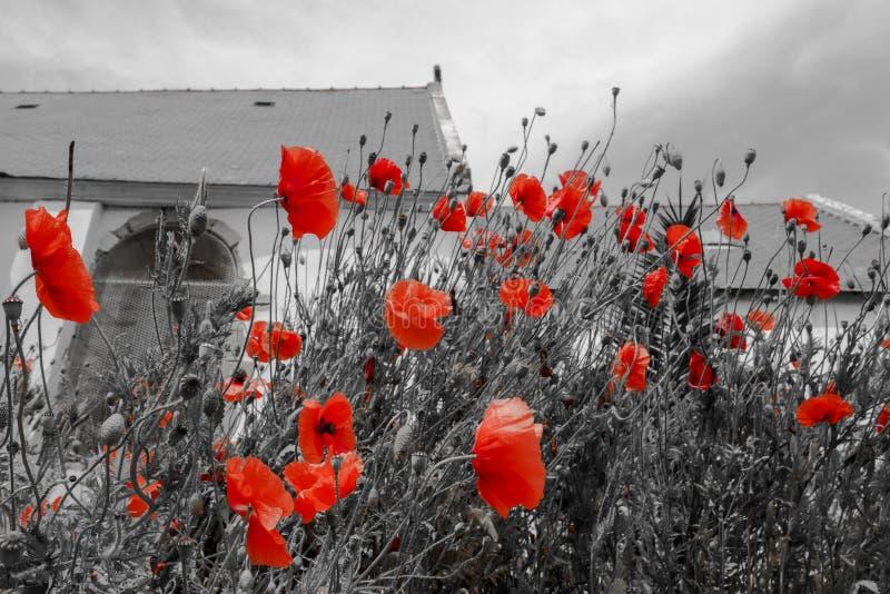 Czarny i biały fotografia z czerwonym maczkiem i kościół w tle zdjęcie royalty free