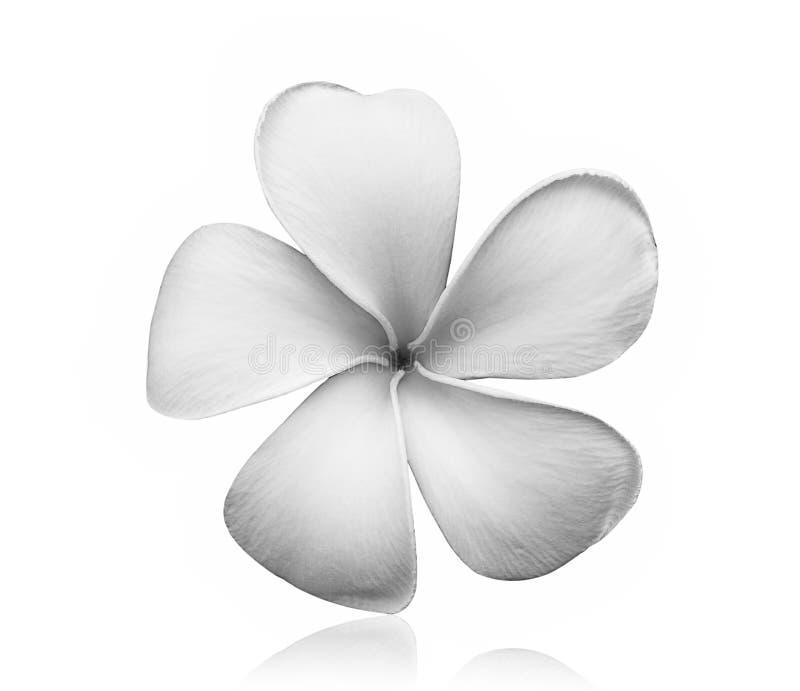 Czarny i biały Frangipani kwiat na białym tle zdjęcia royalty free
