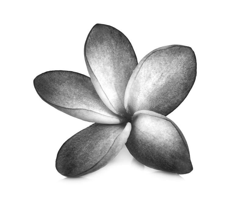 Czarny i biały frangipani kwiaty odizolowywali biel fotografia royalty free