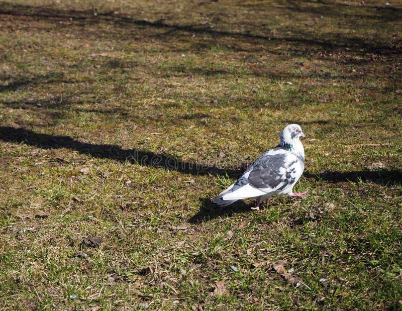 Czarny i biały gołąb chodzi na trawie w parku fotografia stock