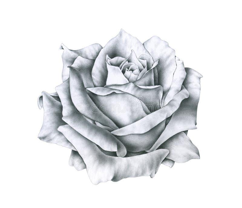 Czarny i biały ilustracja wzrastał kwiaty odizolowywających na białym tle Handwork monochromatyczny rysunkowy ołówek royalty ilustracja