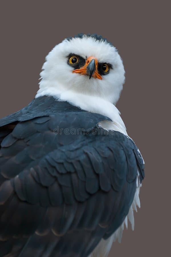 Czarny i biały jastrzębia Eagle Spizaetus menaloneucus zdjęcie stock